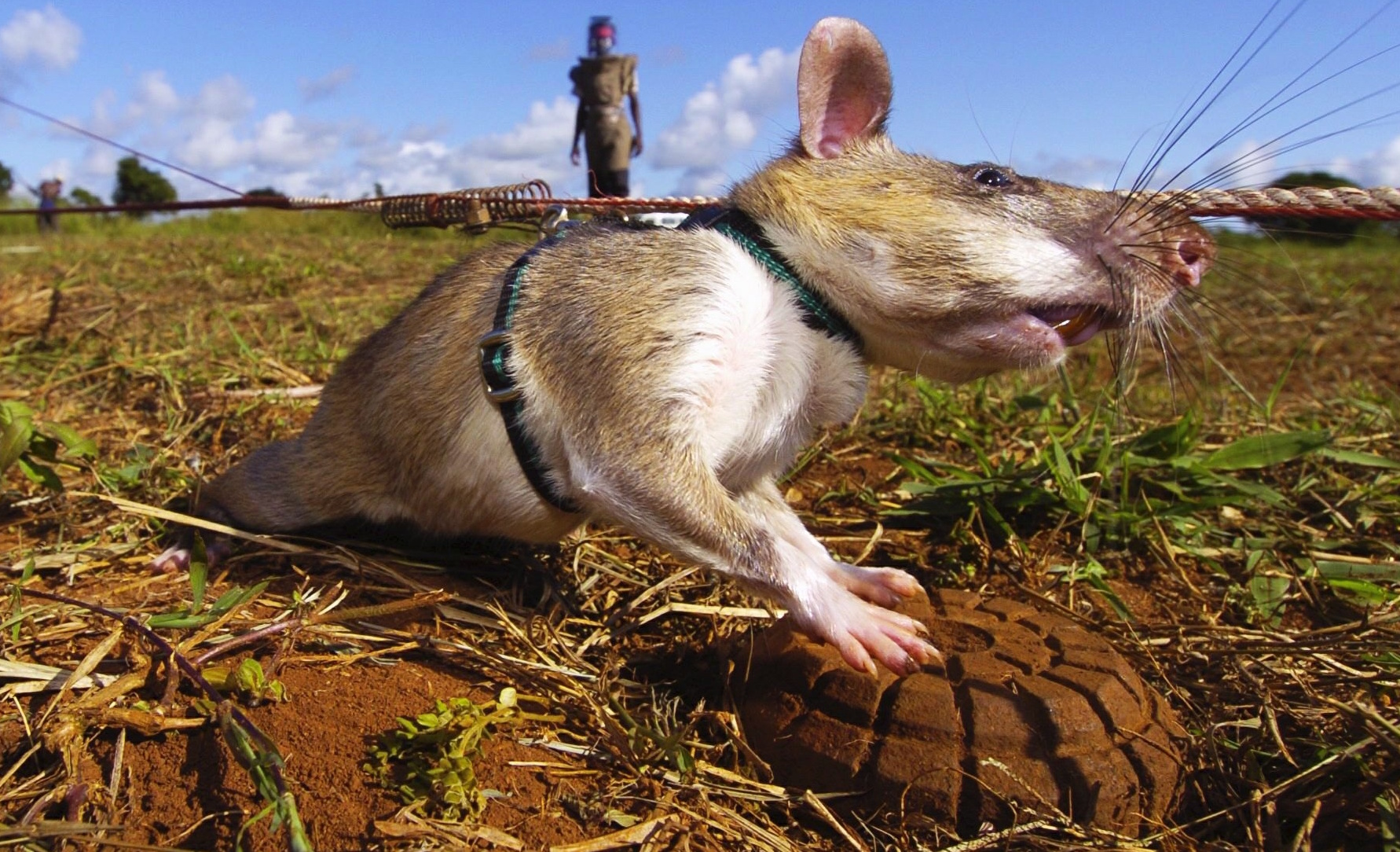Giant Rats Are Sniffing Out Landmines and Tuberculosis - vice