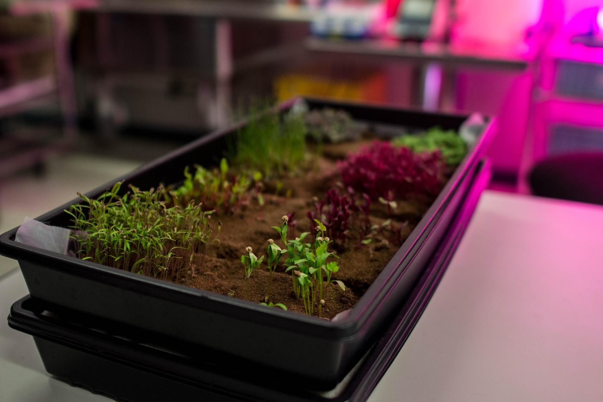 Some Microgreens Grown In Fritsches Long Duration Food Production Lab