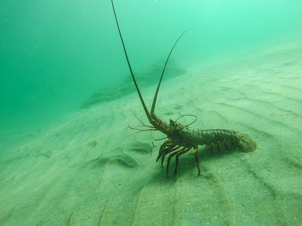 Lobster Underwater Why We Don't ...