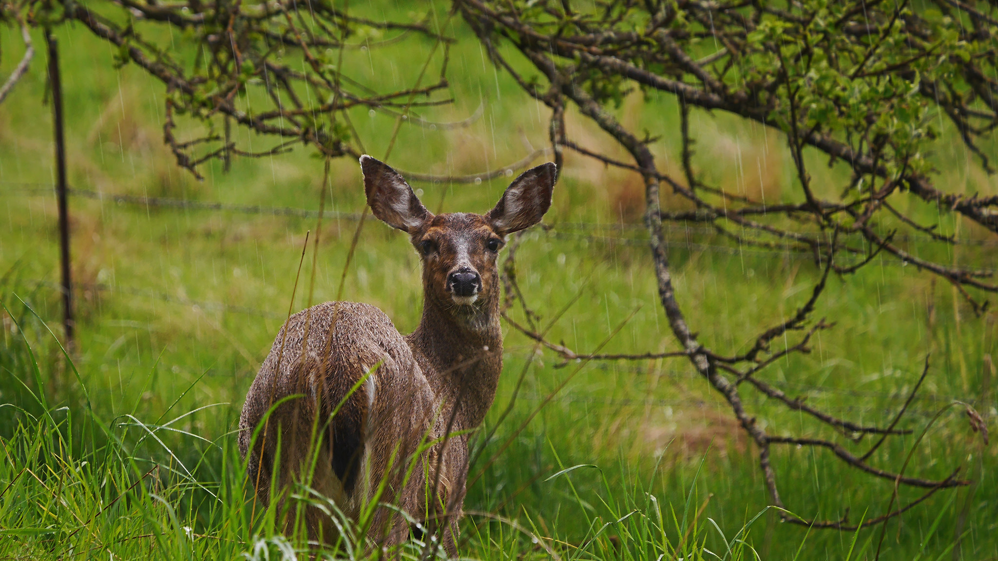 extremely angry deer are terrorizing the people of vancouver
