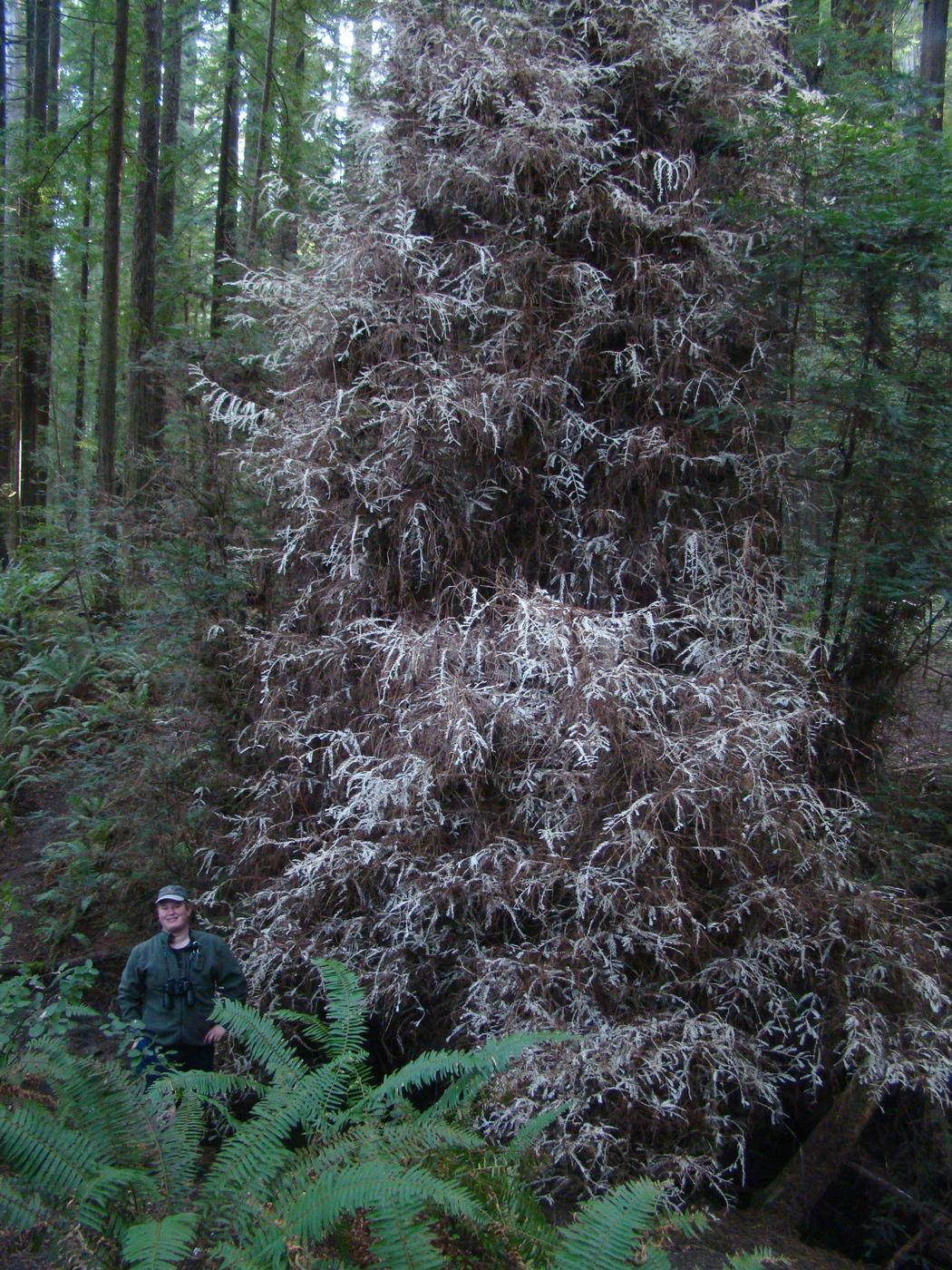 En Californie, des arbres fantômes défient les lois de la nature… 1496823911104-1496773067074-unnamed-3