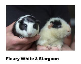 Foto: Portland Guinea Pig Rescue