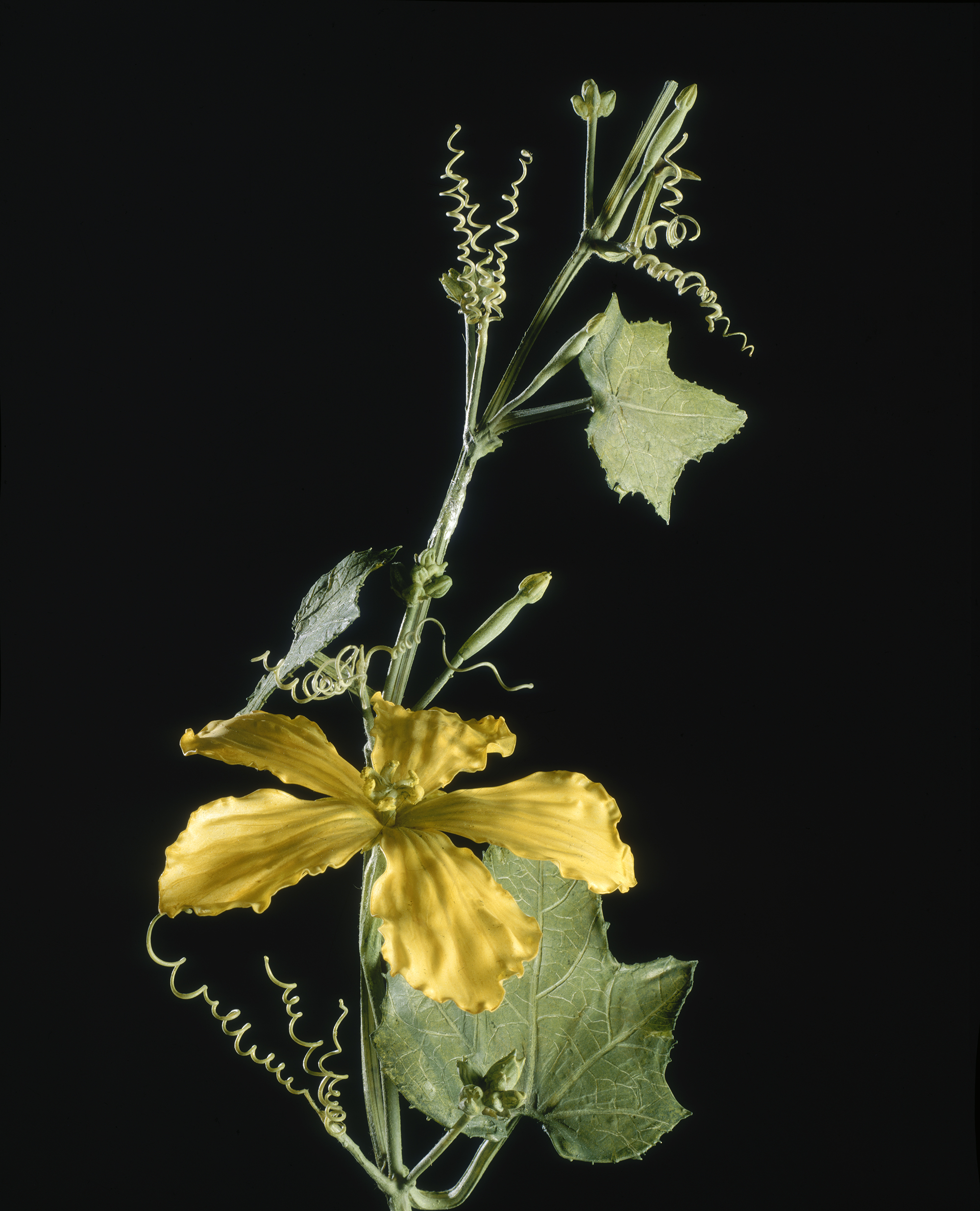 the archives of rudolf and leopold blaschka and the ware collection of blaschka glass models of plants harvard university president and fellows - Glass Flowers