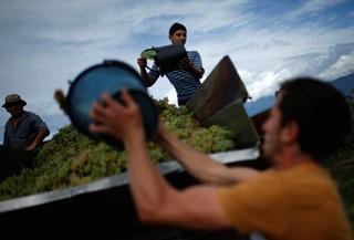 1509096376388-Workers-load-a-trailer-with-grapes-for-wine-during-harvest-in-the-village-of-Lomistsikhe-in-Kakheti-region-Georgia-September-28-2016-REUTERSDavid-Mdzinarishvili