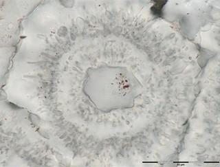 roseta férrica fosil más antiguo del mundo en canada quebec