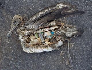 Ein totes Albatrossbaby voller Plastikmüll