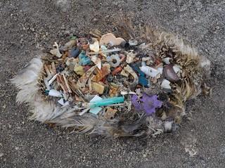 Plastik im Magen eines Albatross-Kadavers