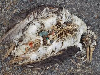 Ein toter Albatross mit Plastik im Magen