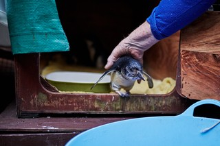 Sylvia Durrant hilft einem Pinguin von seinem Gehege in einen blauen Wäschekorb
