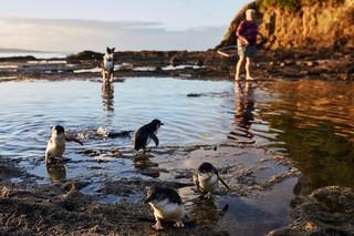 Pinguine watscheln durch seichtes Meerwasser, im Hintergrund sind Annwyne Standish mit einem Kescher sowie ein Hund