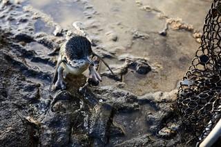 Ein junger Pinguin steht im seichten, schlammigen Meerwasser