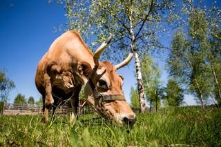 Eine Kuh grast neben drei Birken