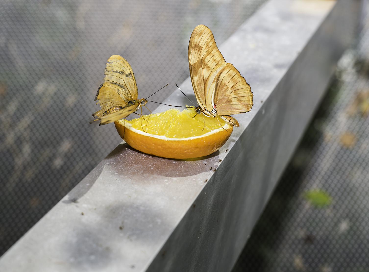 Jeruk dan dua serangga