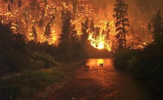 Rehe flüchten vor einem Waldbrand.