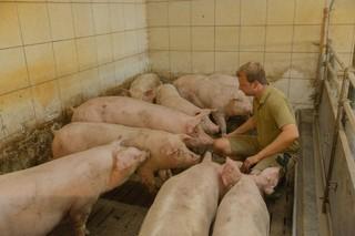 Der Landwirt füttert Schweine im Stall