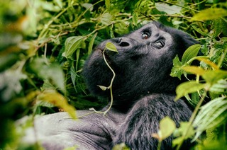 1538995427269-great-silverback-Mountain-Gorilla-in-the-Bwindi-National-Park-in-Uganda