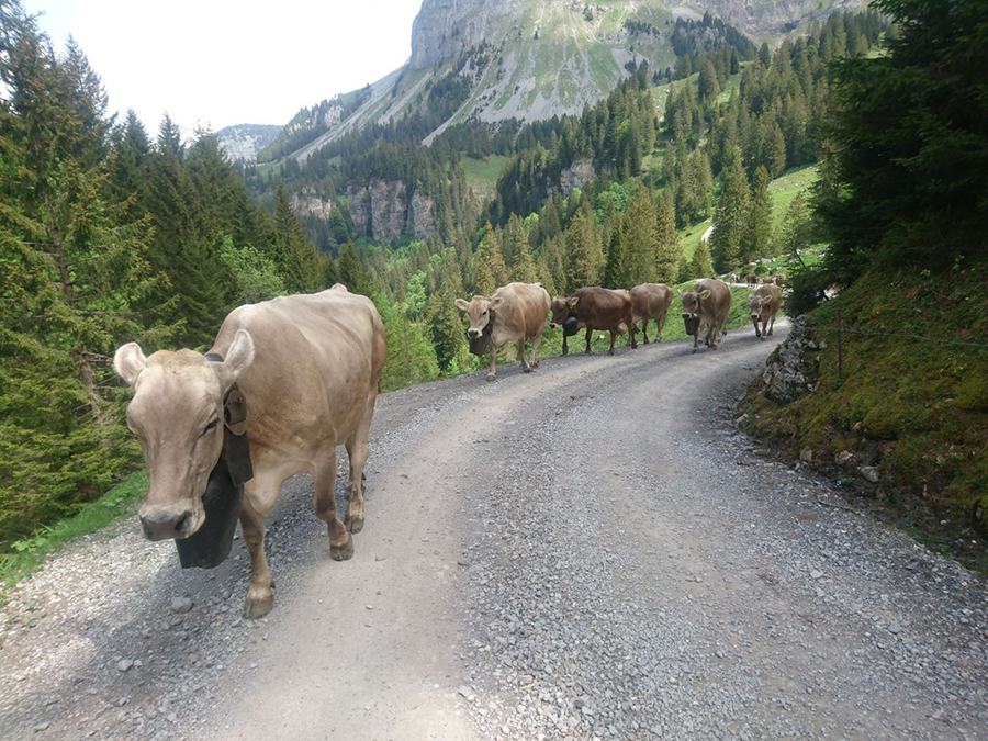 1539895656988-cows-walking-up-to-ruosalp