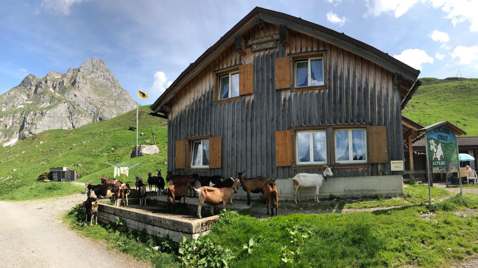 1539895726792-goats-at-Ruosalp-house