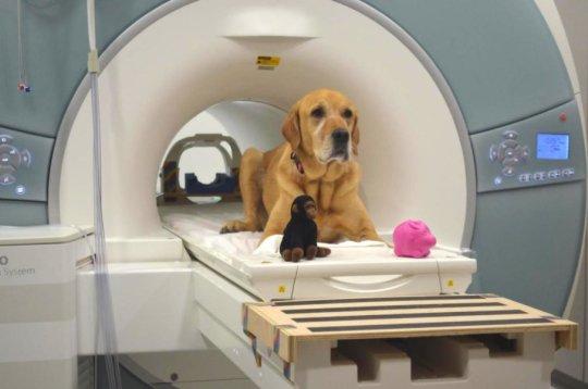 Dog in an fMRI scanner