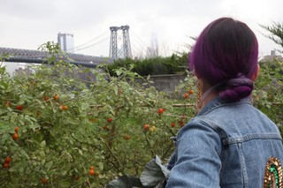 Claudette Zepeda Wilkins in the Munchies garden picking tomatoes, with Williamsburg Bridge in background