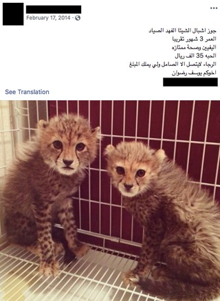 Two captive cheetahs advertised for sale on Facebook.