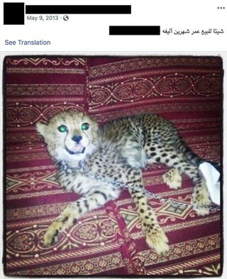 A captive cheetah advertised for sale on Facebook.