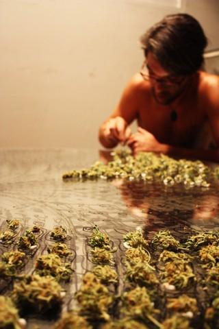 cogollos de marihuana