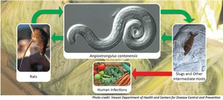 The lifecycle of the rat lungworm parasite.