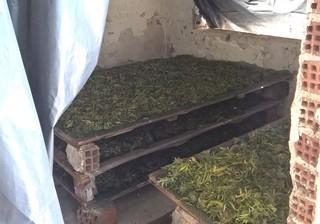 Geerntetes Cannabis