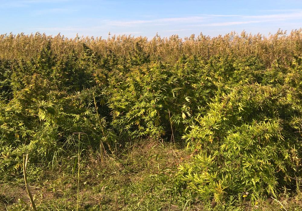 Ein Cannabis-Feld