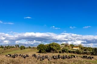 Cinta-senese-PorcoBrado-Panoramica