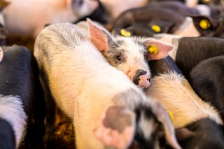 Cinta-senese-PorcoBrado-cucciolo-che-spunta