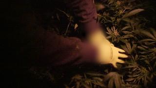 Un voleur de weed dans le champ