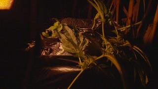 Un voleur de weed au Québec
