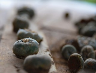 Dried peyote buttons