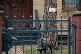 Eine Wildschweinattrappe steht in einem Vorgarten von Müggelheim
