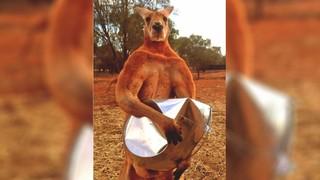1544463631412-kangaroo3