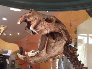 1544724873520-Skull_of_the_Marsupial_Lion_Thylacoleo_carnifex