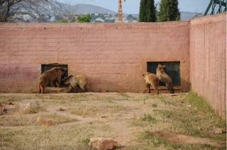 Οι κλειστές πόρτες των φωλιών των αρκούδων (αλλά και άλλων ζώων) στο Αττικό Ζωολογικό Πάρκο δεν επιτρέπουν την πρόσβαση σε ιδιωτικό χώρο και εξαναγκάζουν τις αρκούδες σε µόνιµη και υποχρεωτική έκθεση στο κοινό. Ο χώρος διαβίωσης των αρκούδων δεν σχετίζεται µε το φυσικό βιότοπό τους.