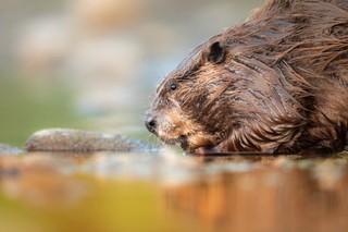 beaver drinking at river