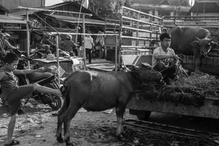 1547200187214-Silaga-Tedong-11-3