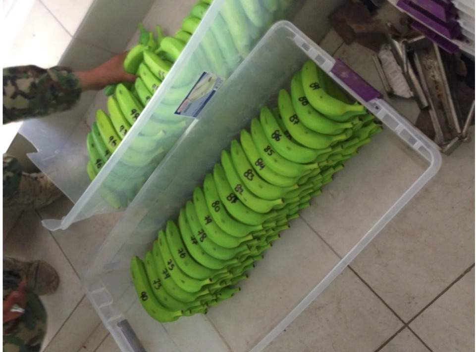 Fake bananas filled with cocaine were found in one of Chapo's safe houses.