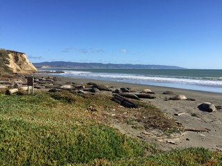 Some of the elephant seals on Drakes Beach are currently pregnant.