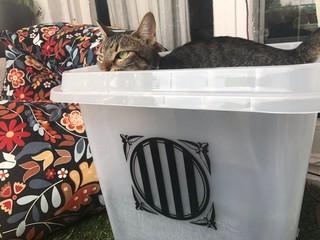 urna 1 octubre con gato