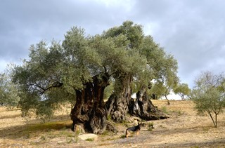 1550082881099-millenary-olive-trees
