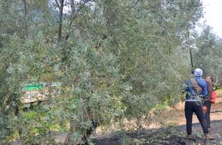 1550083290784-olive-harvest-1