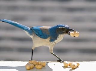 vogel met nootjes