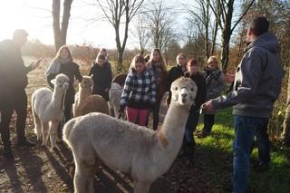 Alpaca met wandelaars