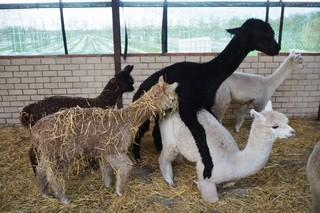 Vijf alpaca's in een schuur