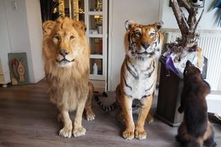 tijger en leeuw